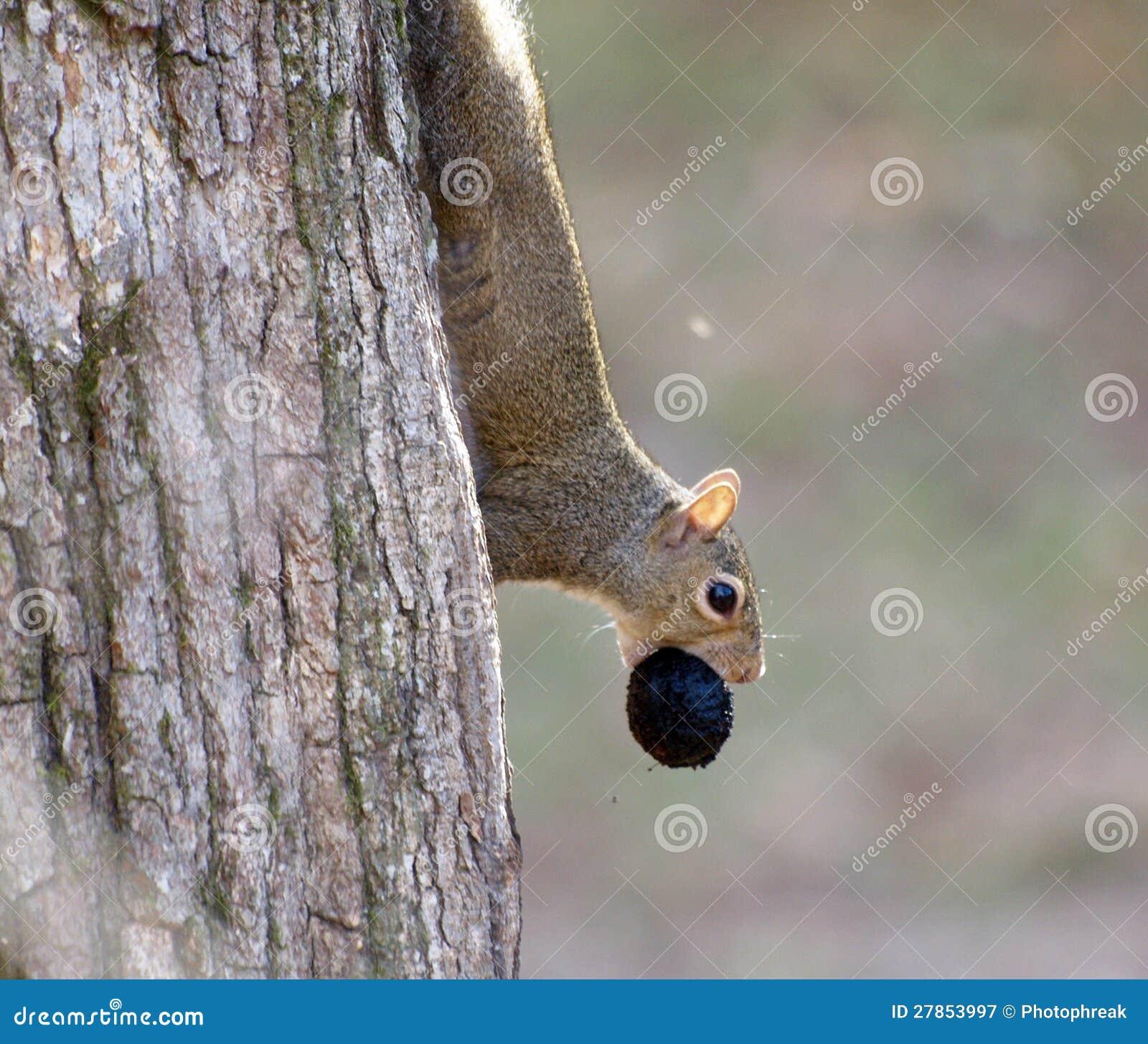 Wiewiórka z orzech włoski