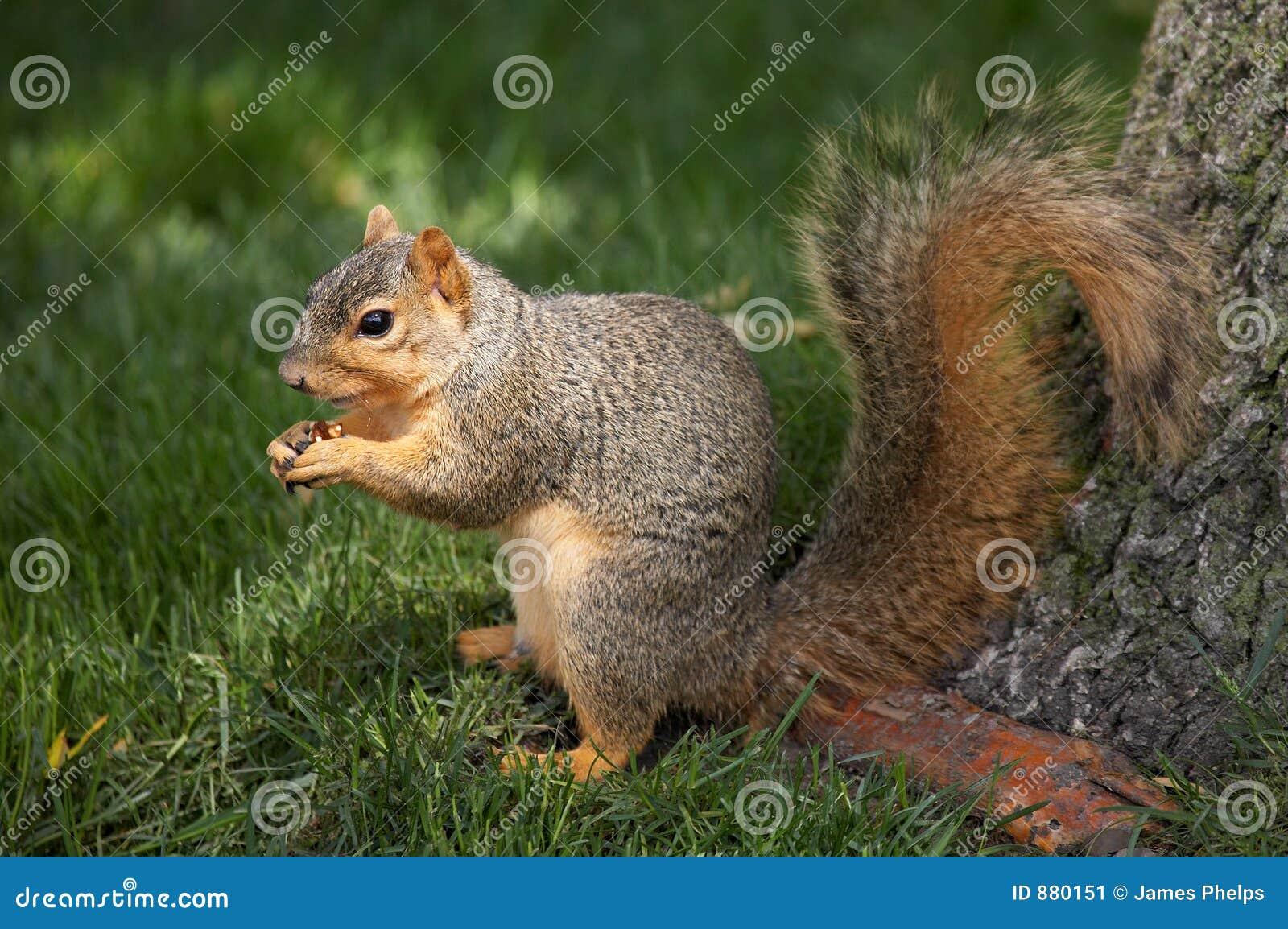 Wiewiórki jedzą orzecha