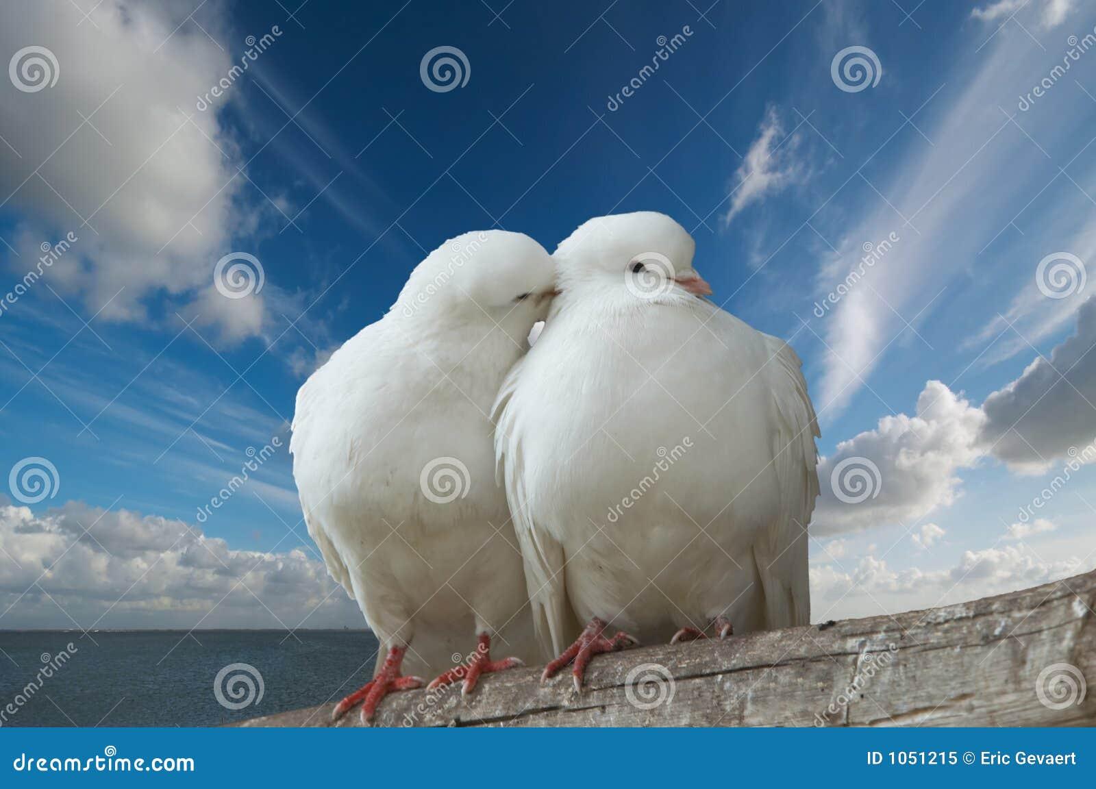 Wihte влюбленности голубей