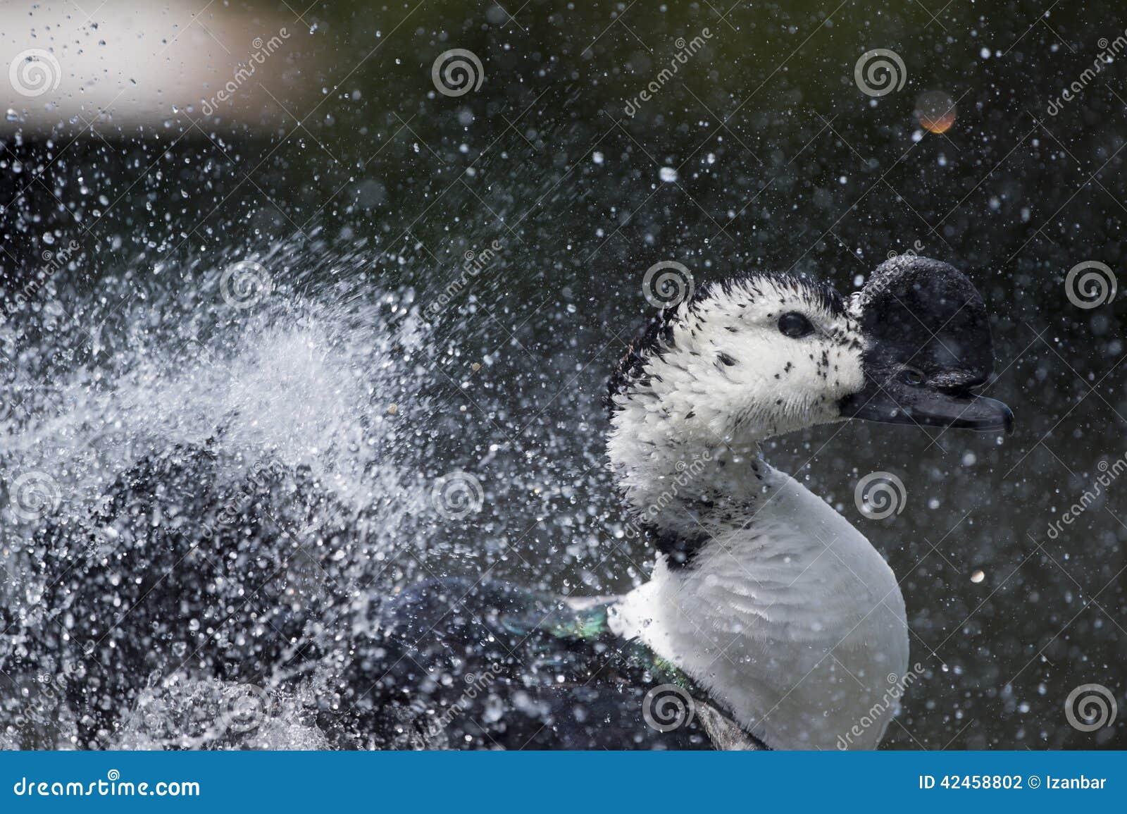 Wiild-Ente beim Spritzen auf Wasser