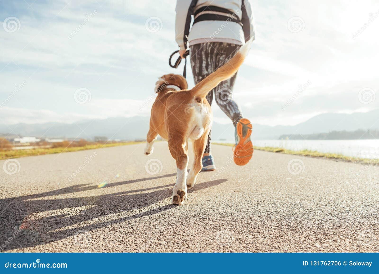 Wijfje die de ochtendjogging met zijn brakhond beginnen door de asfaltrenbaan De heldere zonnige oefeningen van Ochtendcanicross