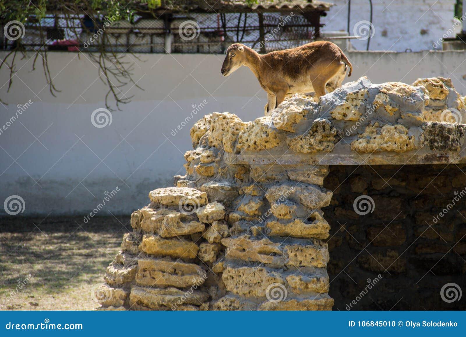 Wijfje van Europese mouflon Ovis musimon