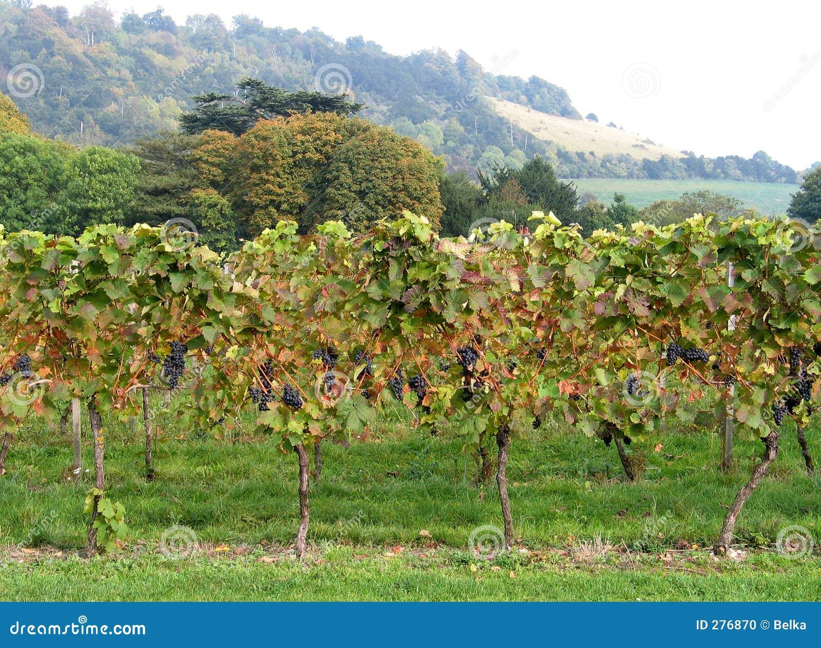Wijngaard