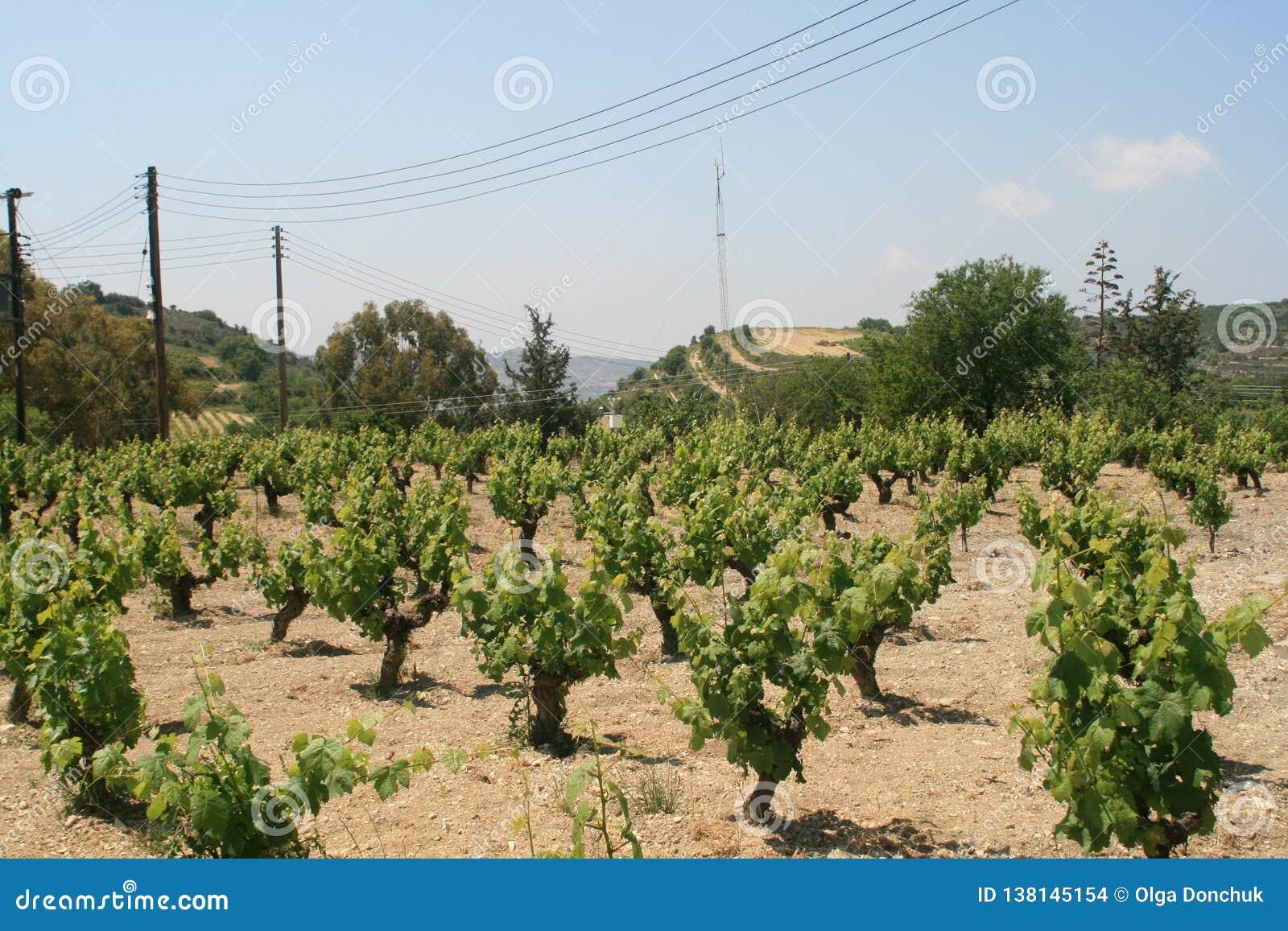 Wijngaard in de lente
