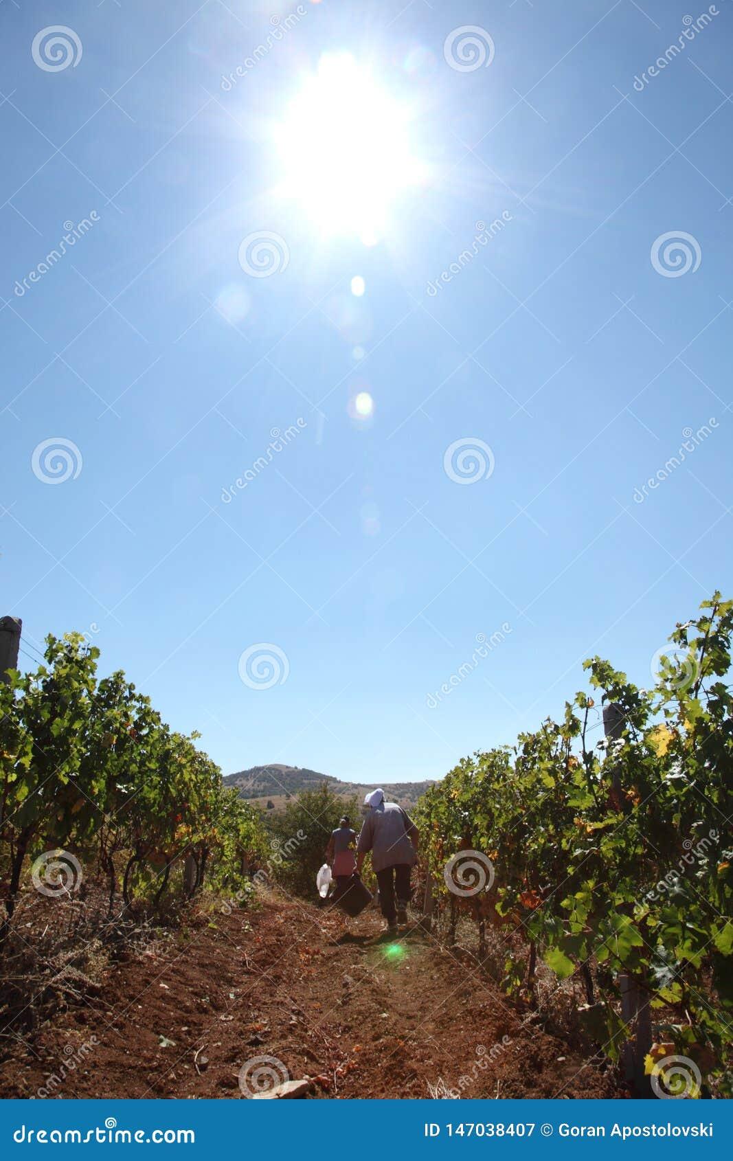 Wijngaard - druivenoogst - zonnige dag