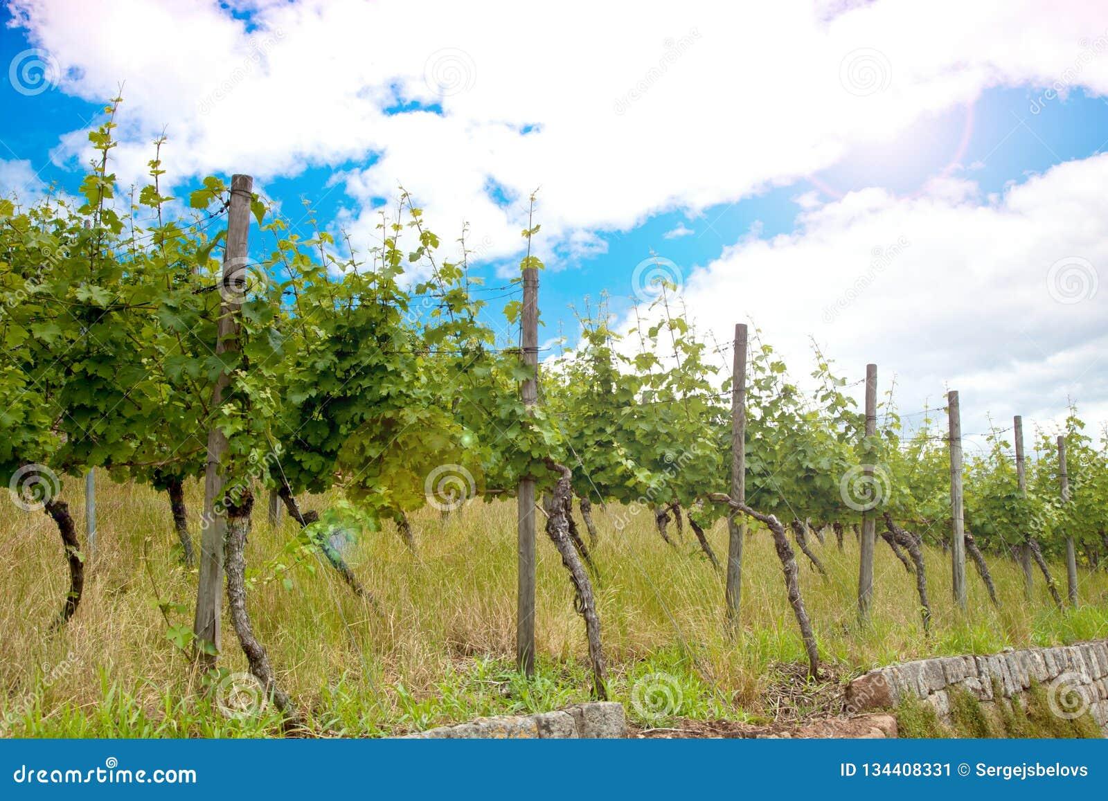 Wijngaard en wijnstokken in de vroege zomer, koninklijke wijngaard