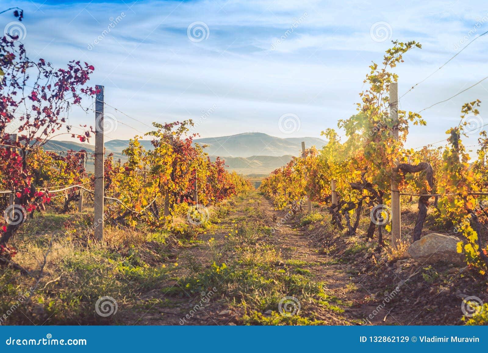 Wijngaard met geel-roodbladeren in de herfst bij zonsondergang