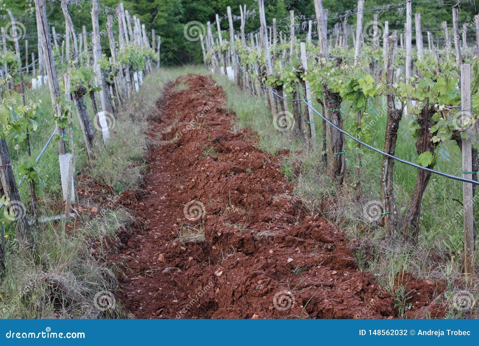 Wijngaard in Terra Rossa-grond, rode grond in de lentetijd