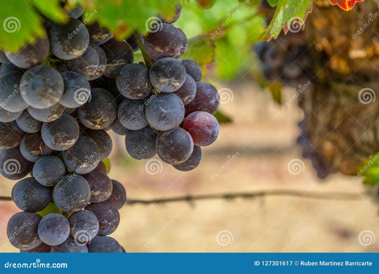 Wijngaarden bij Sonoma-vallei