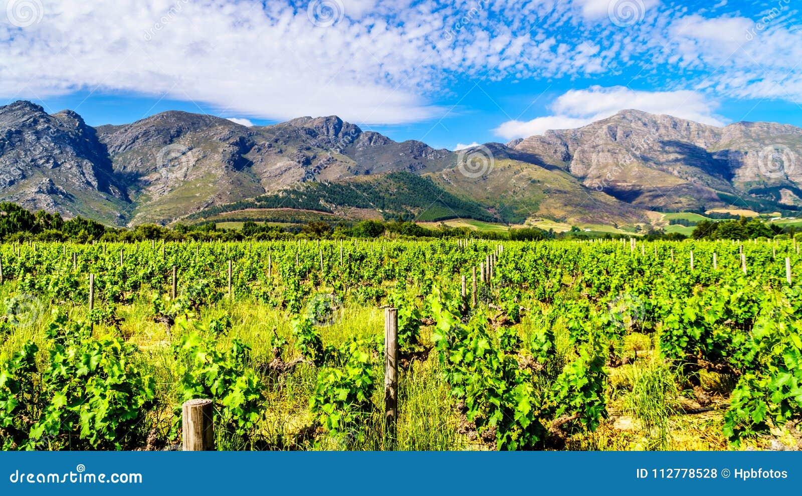 Wijngaarden van de Kaap Winelands in de Franschhoek-Vallei in de Westelijke Kaap van Zuid-Afrika, in het midden van het omringen