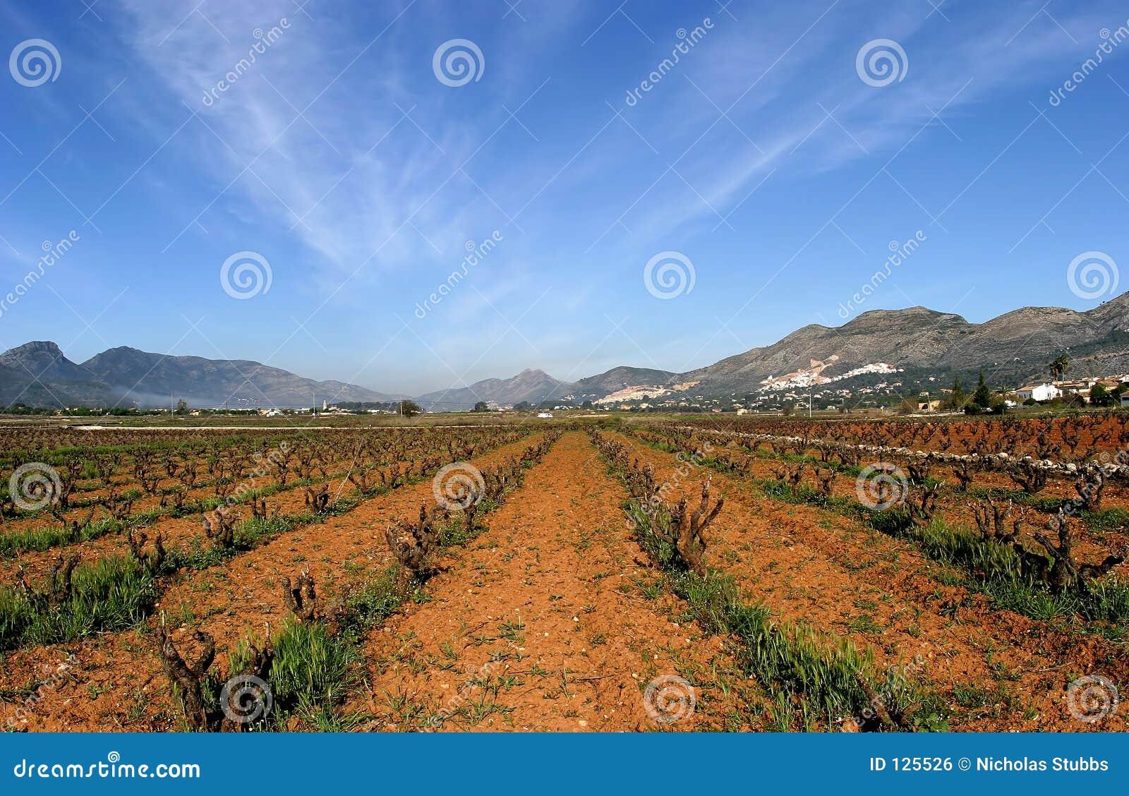 Wijngaarden van Spanje in vroeg seizoen. Wijnstokken die aan de kern worden gesneden. Zonnige blauwe hemelen en convergerende lijn