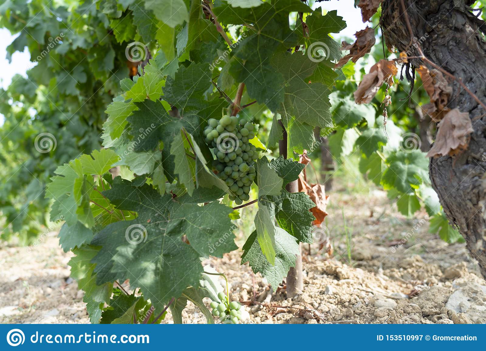 Wijngaarden in zuiden van Frankrijk