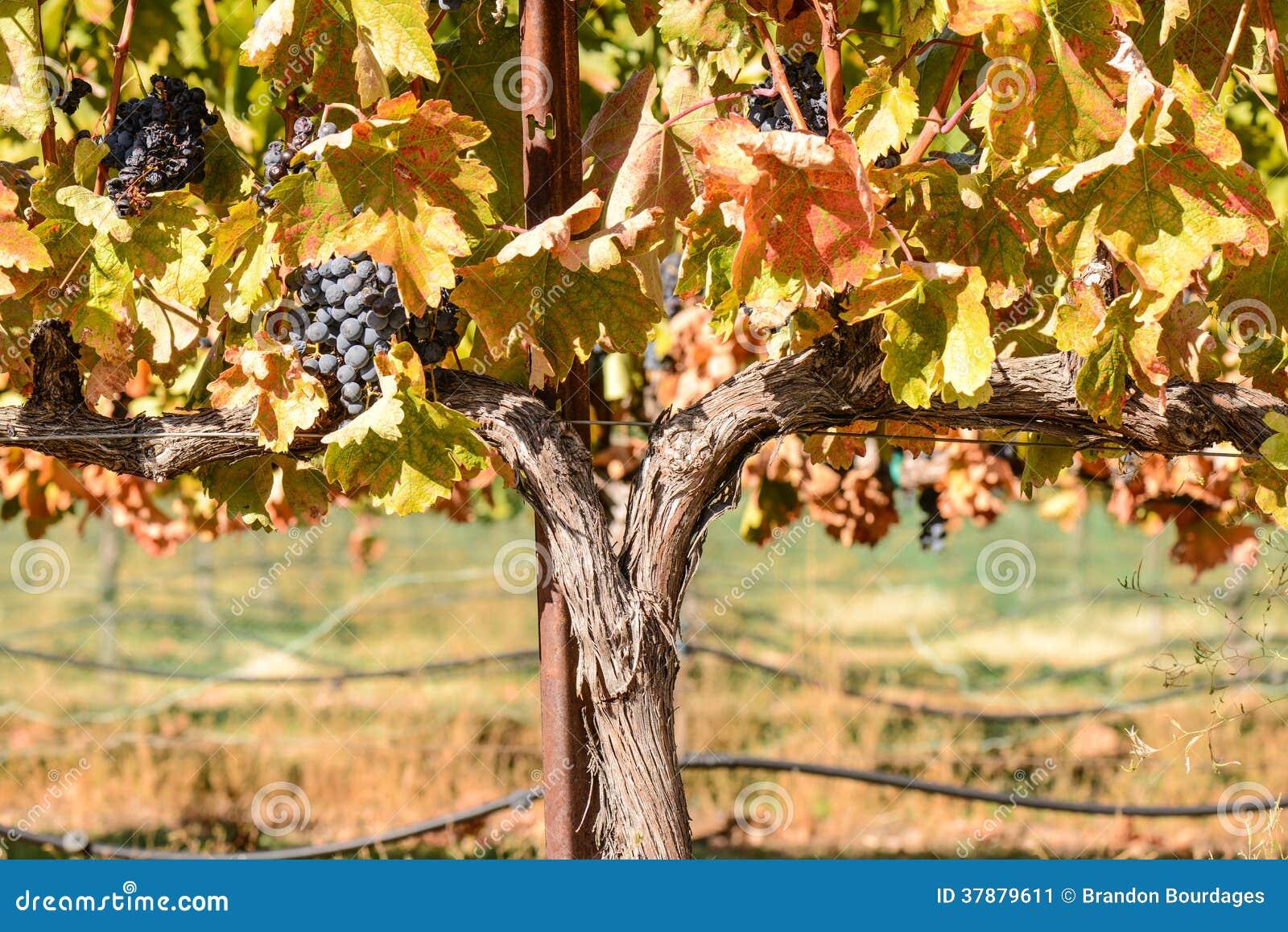 Wijnstok in Daling