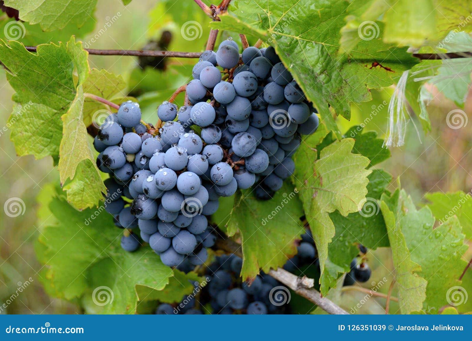 Wijnstok op een wijngaard, bessen voor het maken van rode wijn