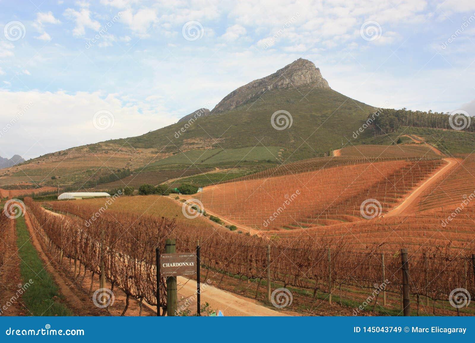 Wijnstokyard Stellenbosch Southafrica Delaire Graff