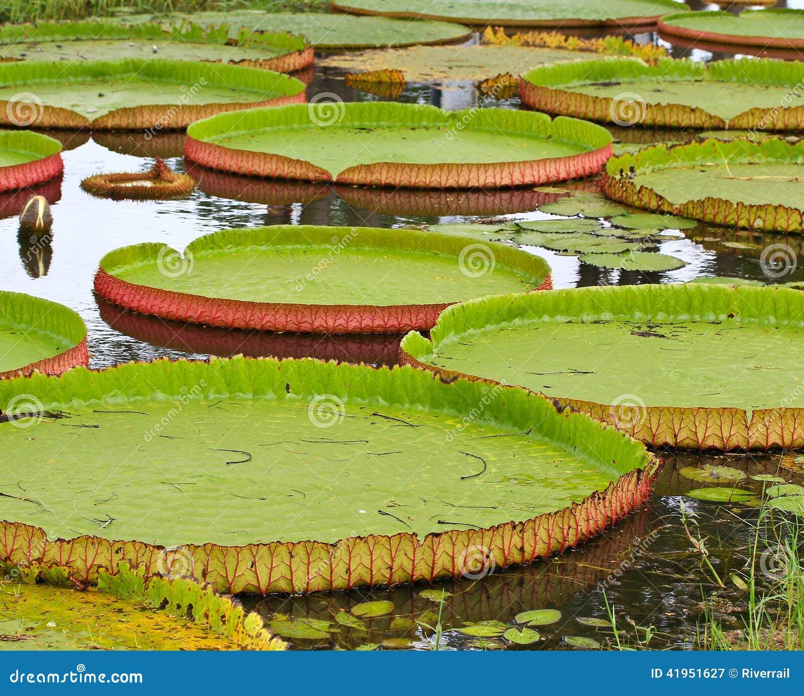 Wiktoria Amazonica lotosu liść