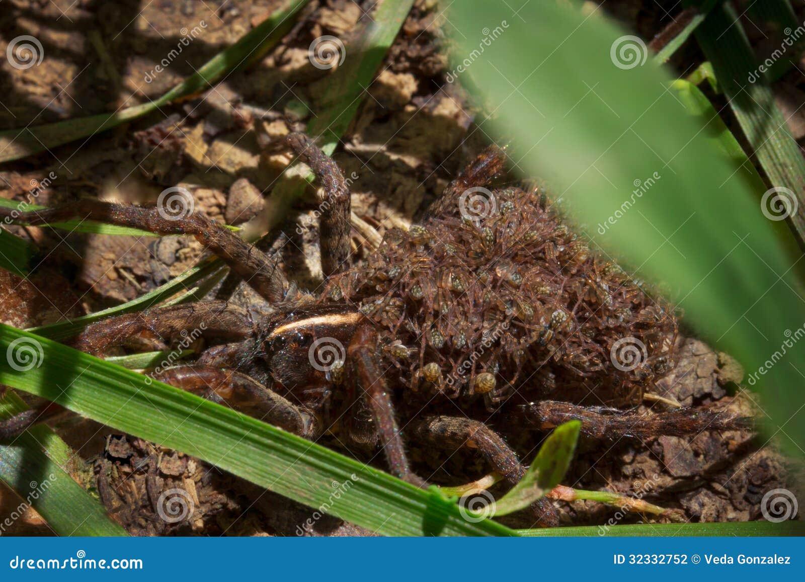 Wilczy pająk z dziećmi