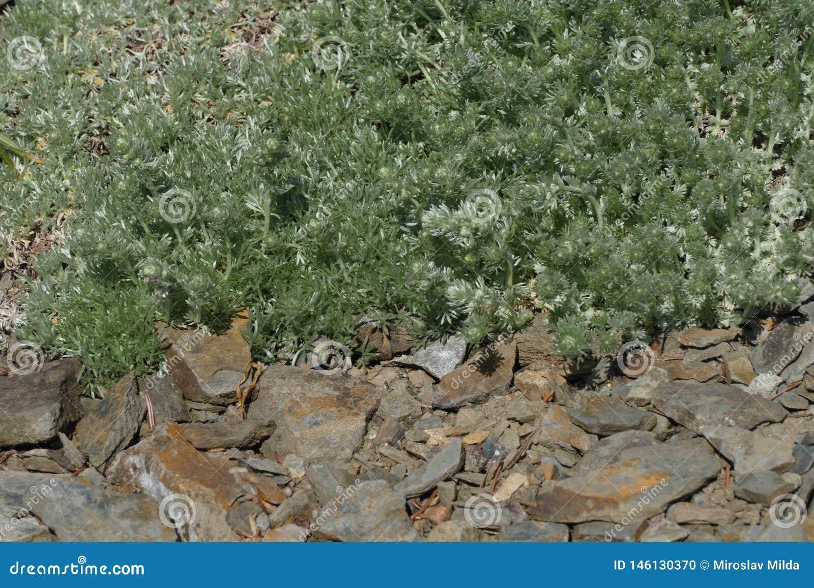 Wild absinth shrub