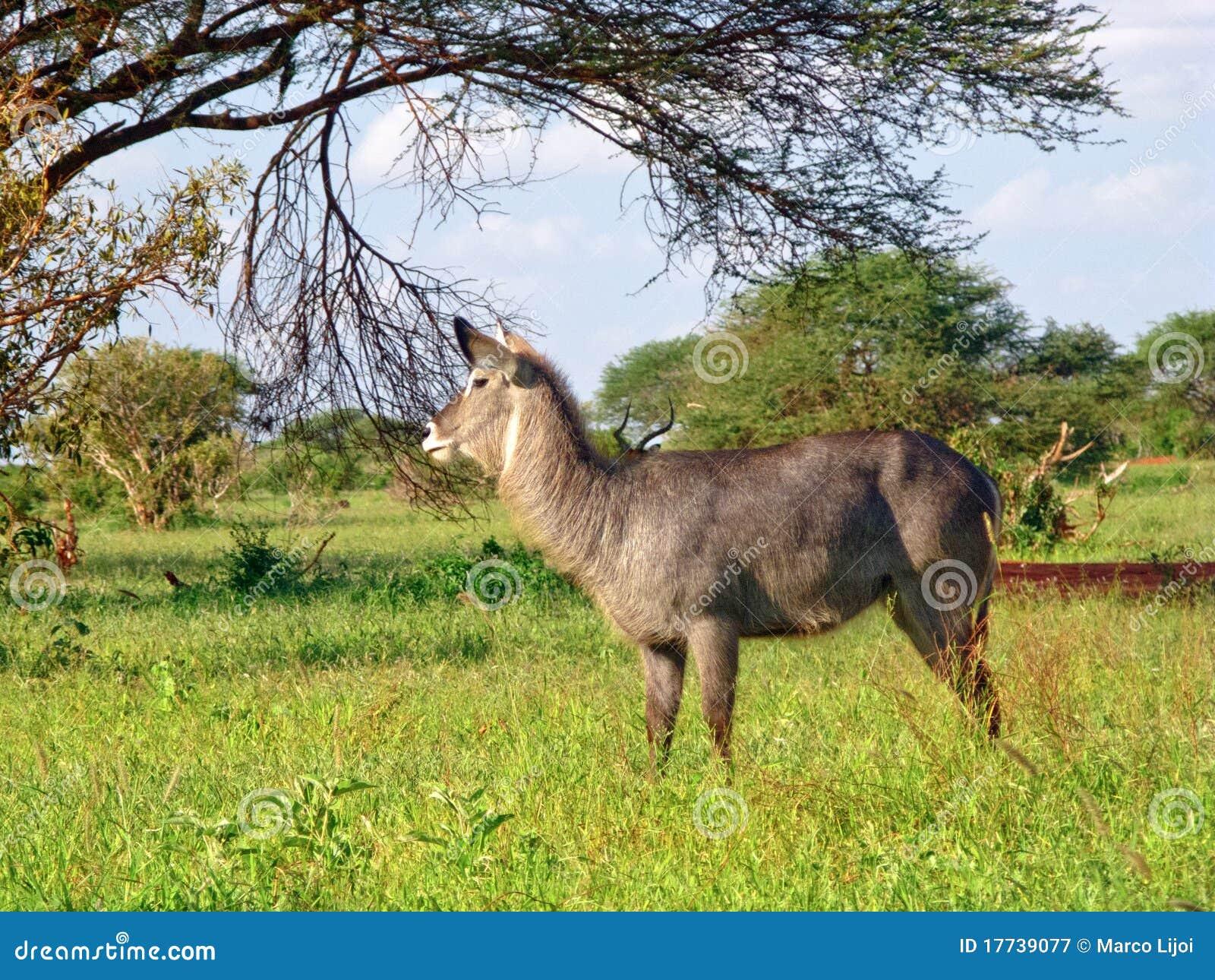 Wild african animals 30