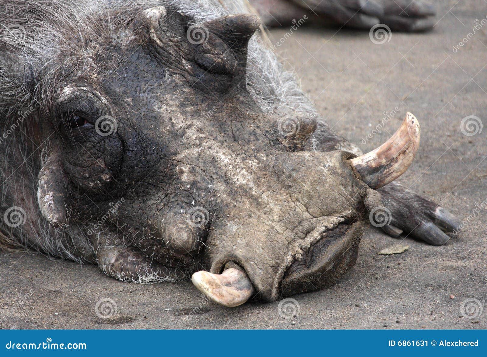 Portrait Of Warthog Stock Image Image Of Animal Lying