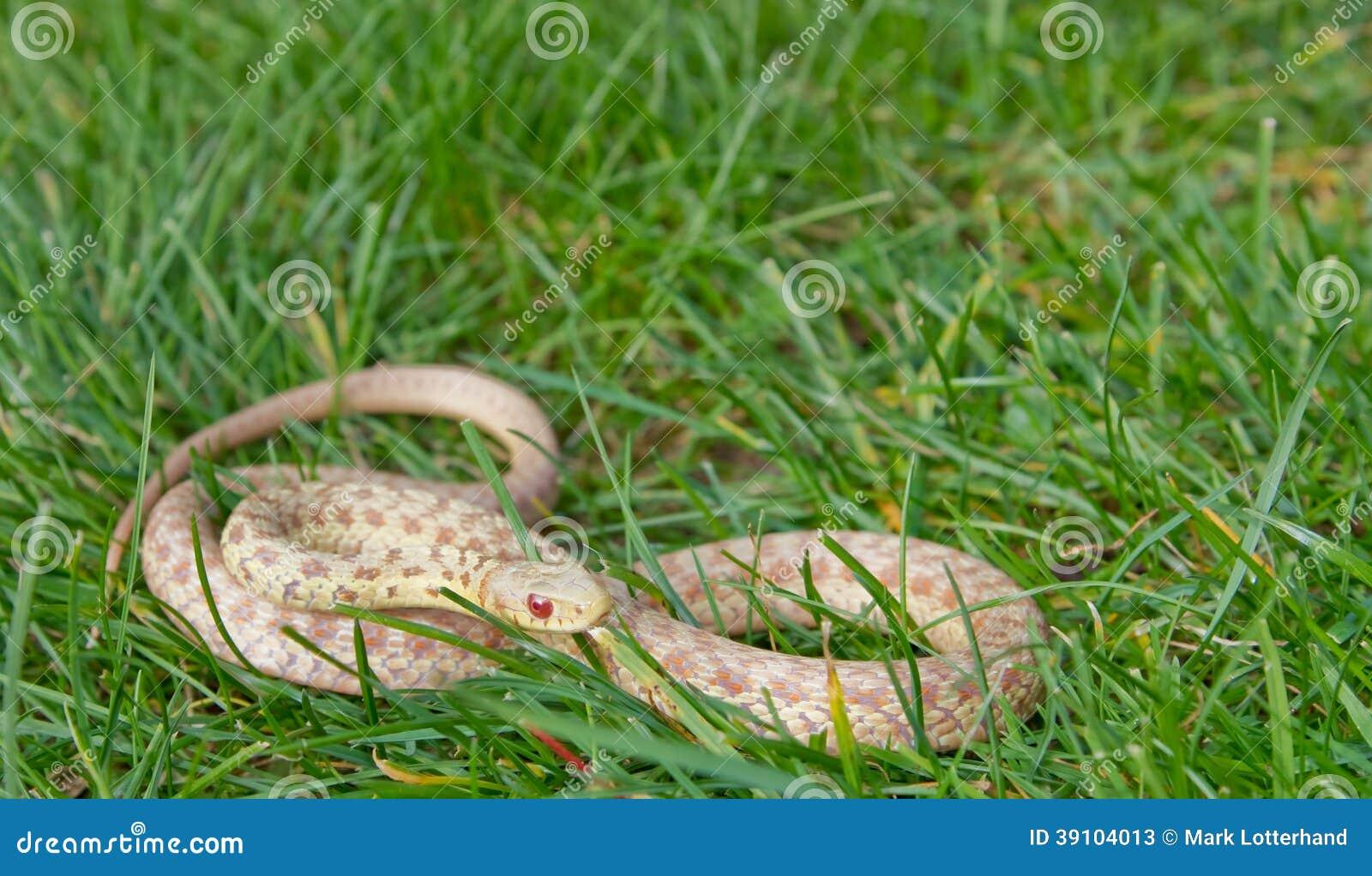 Wild Albino Eastern Garter Snake