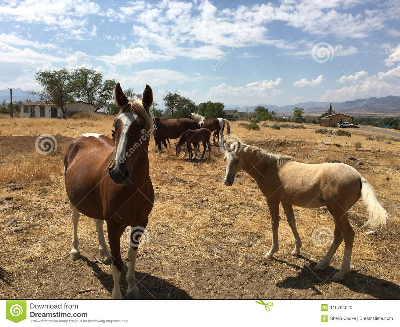 Wild American Mustang Horses Yearlings Stock Photo - Image