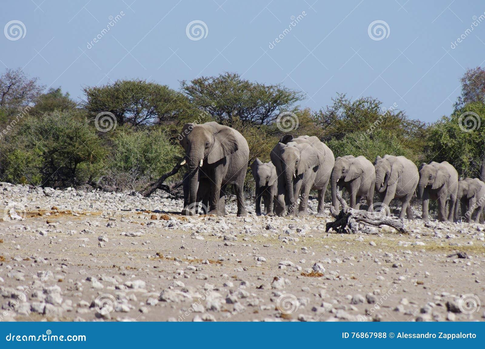 Wild Animals Of Africa: Group Of Elephants Stock Photo