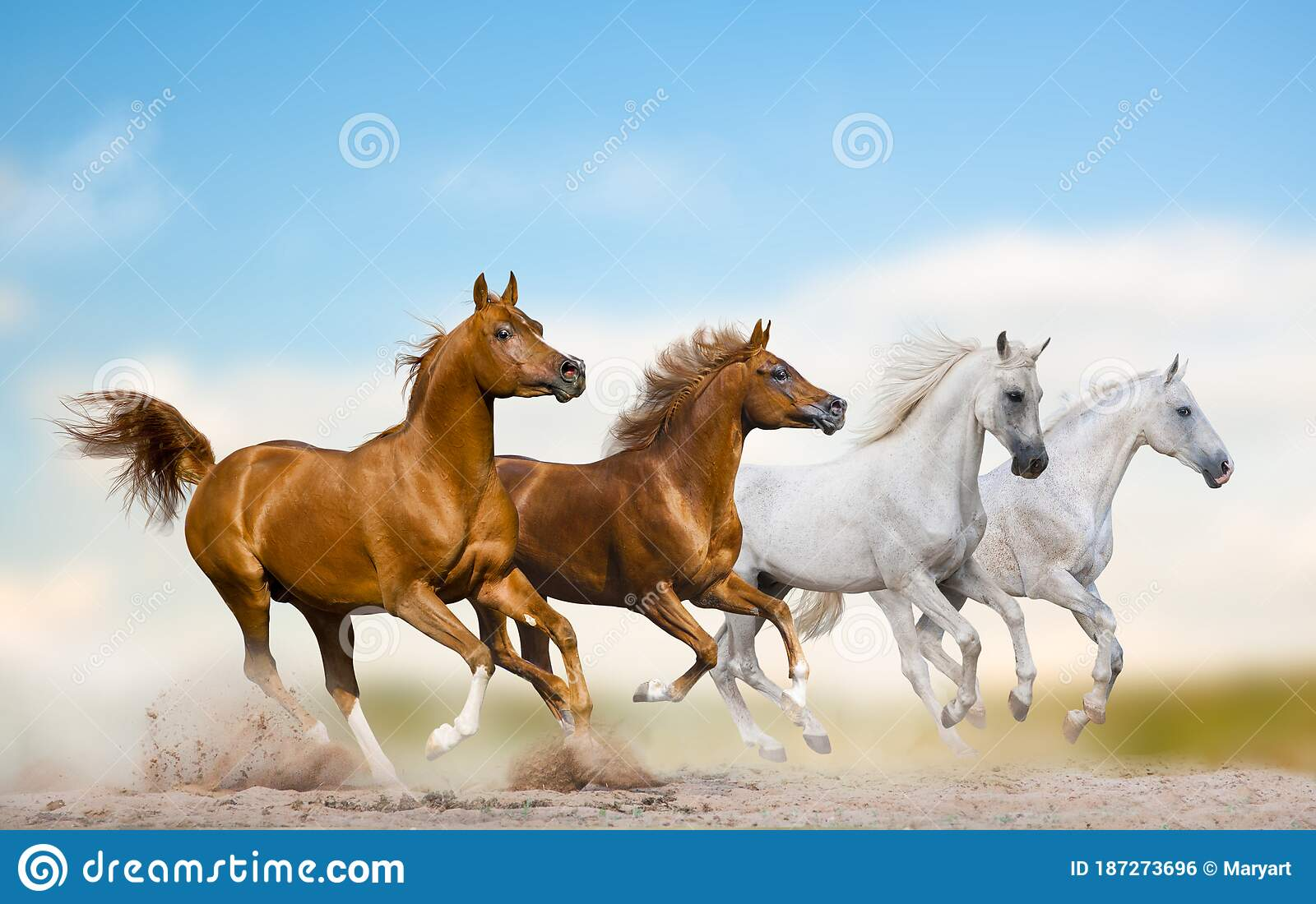 Wild Arabian Stallions Running Together In Herd On A Wild Stock Photo Image Of Pure Isolated 187273696