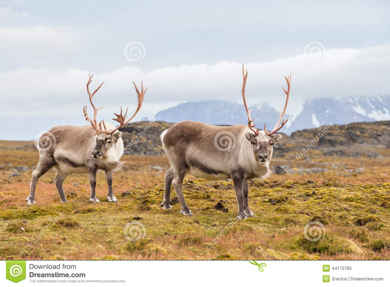 Wild Arctic Reindeer In Natural Habitat Stock Photo ...