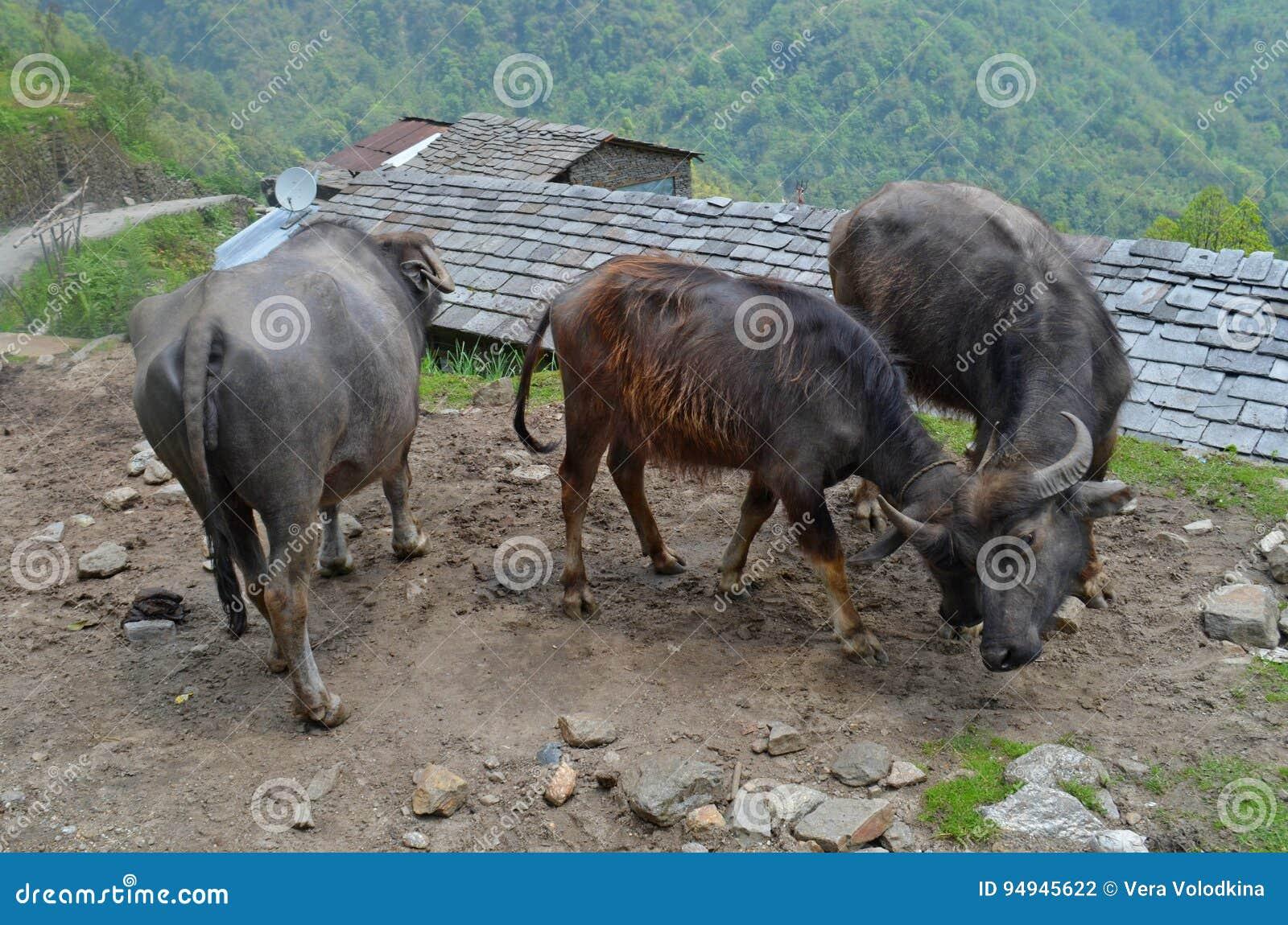 Asiaticas Ass wild asian cows , annapurna national park stock photo