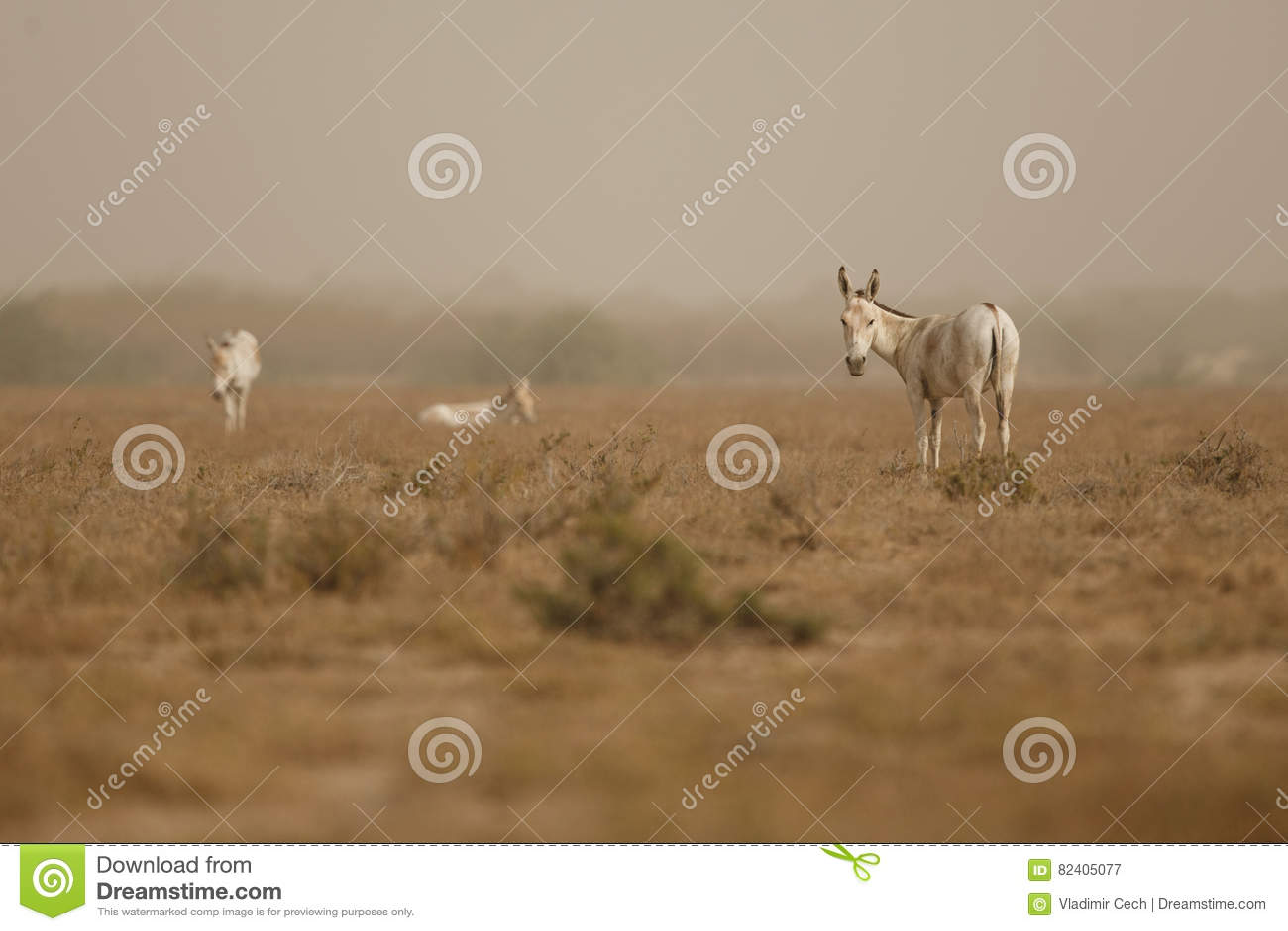 Very wild males