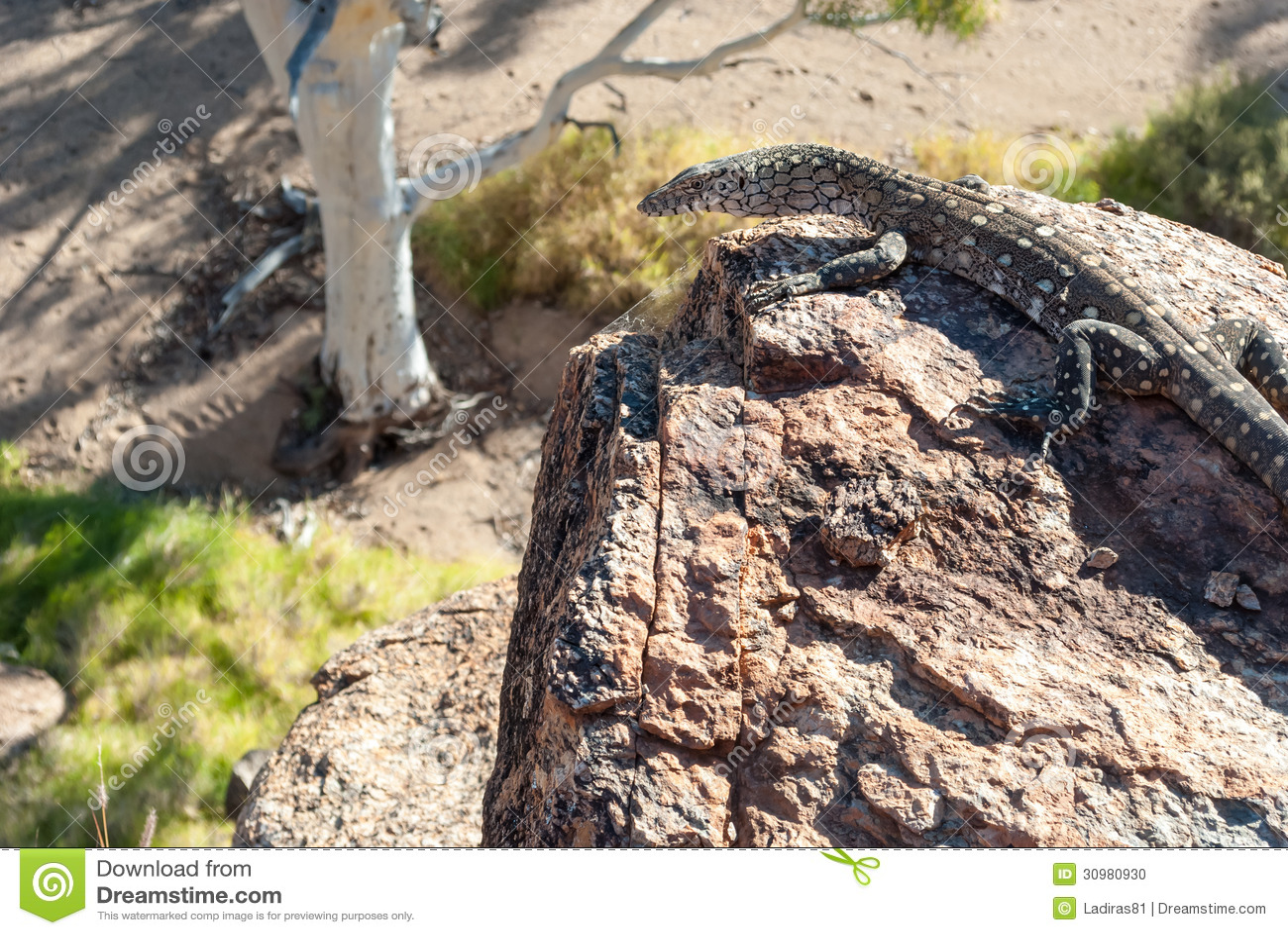 Wild Australian Lizard