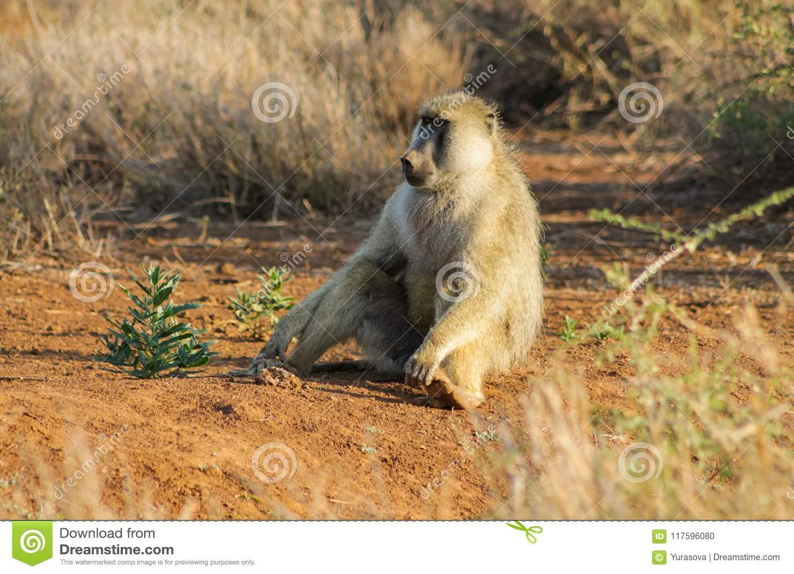 Baboon monkey in Africa wildlife