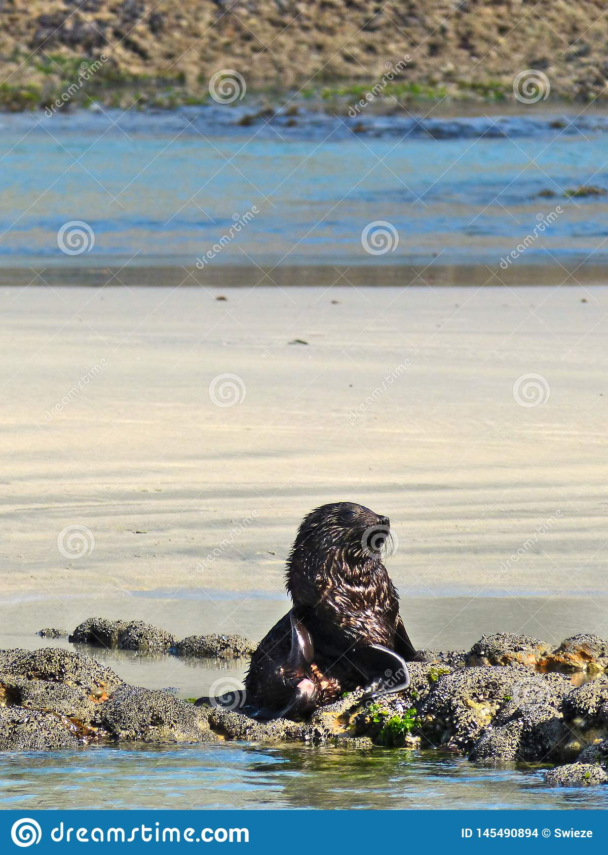 Wild Baby Seal Tired of Playing with its Sibblings at Wharariki Beach, New Zealand
