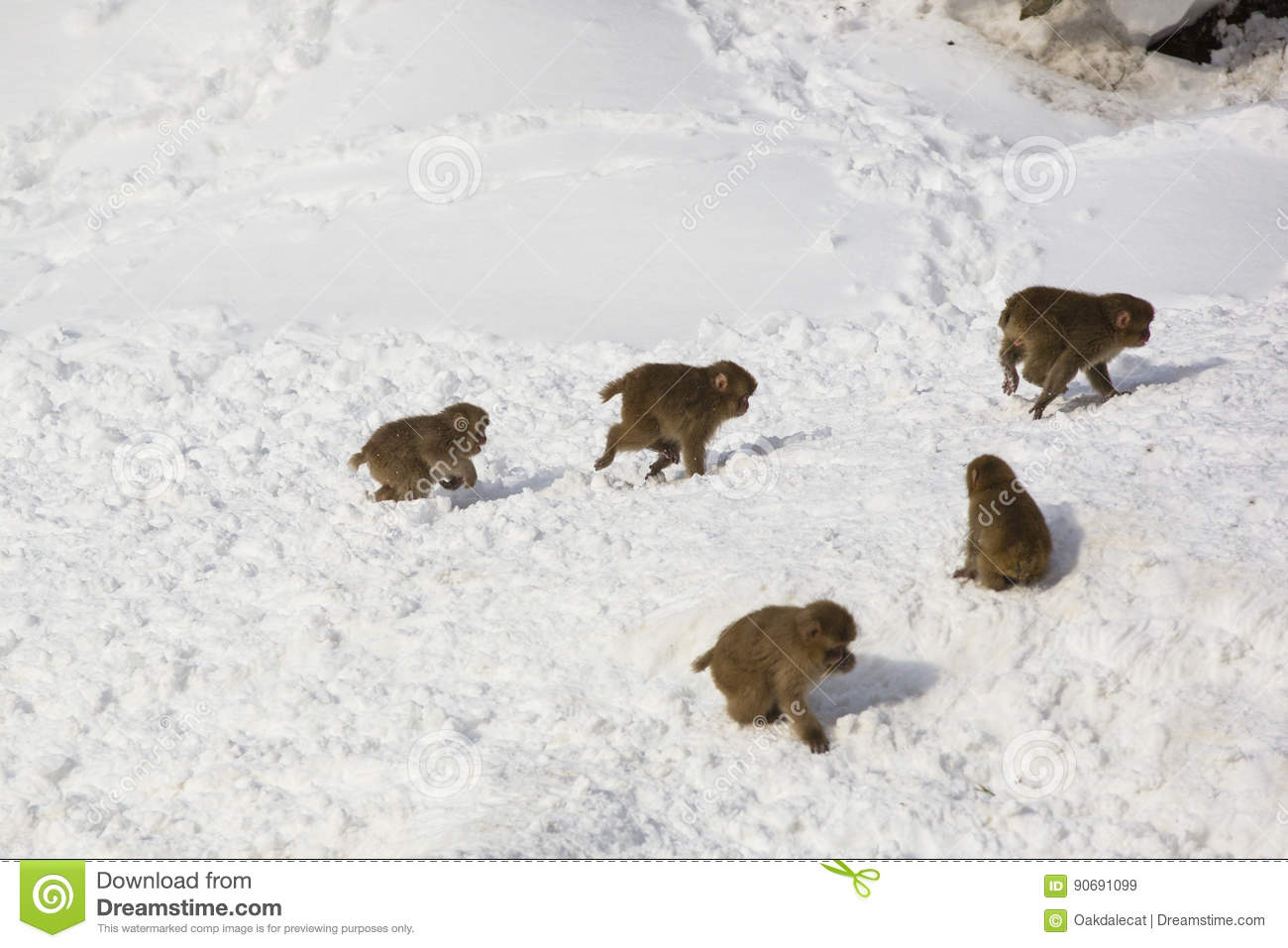 Wild Baby Snow Monkeys Playing Chase in Snow