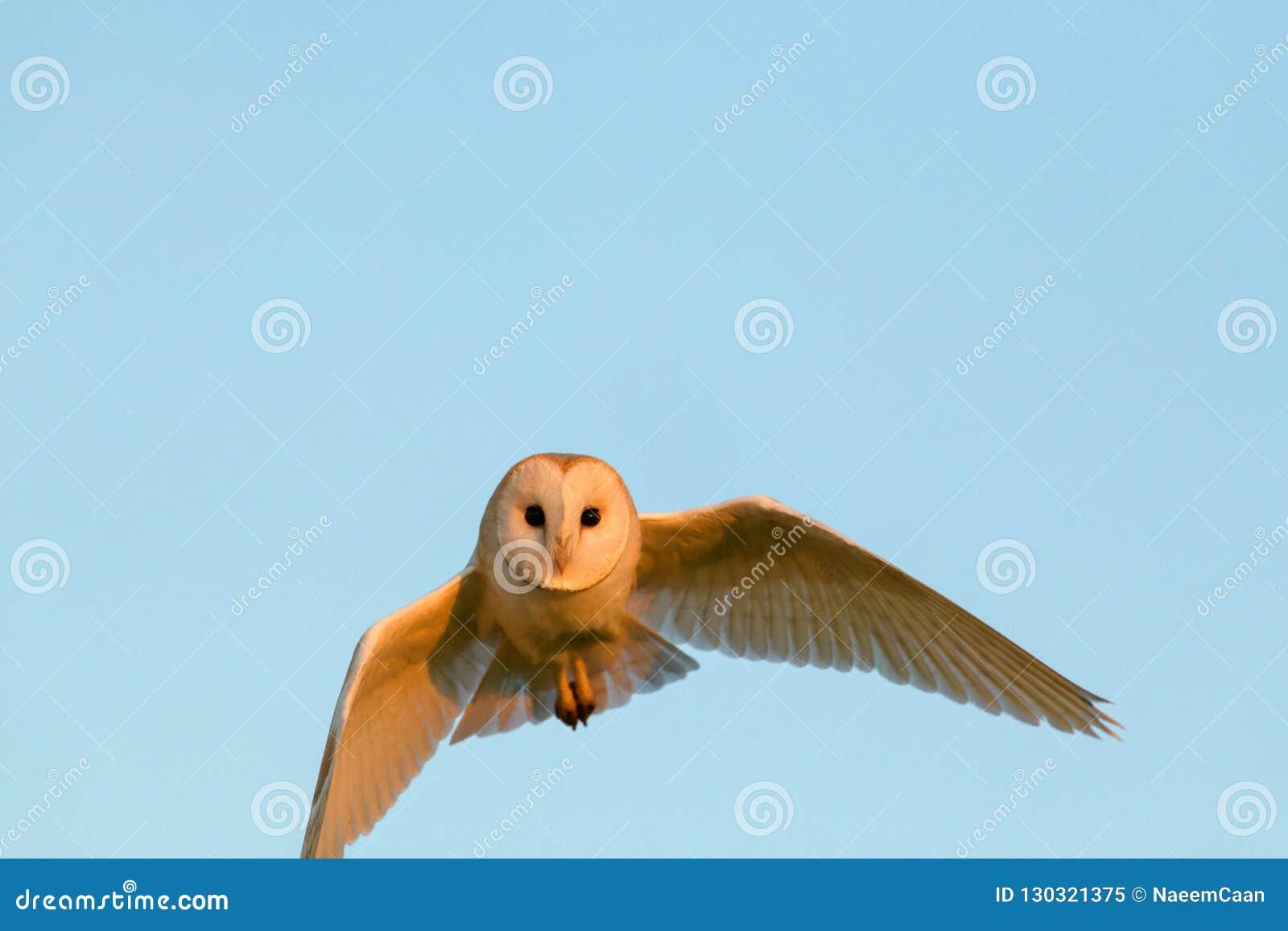 Bild barn owl hunting at sunset in natural habitat
