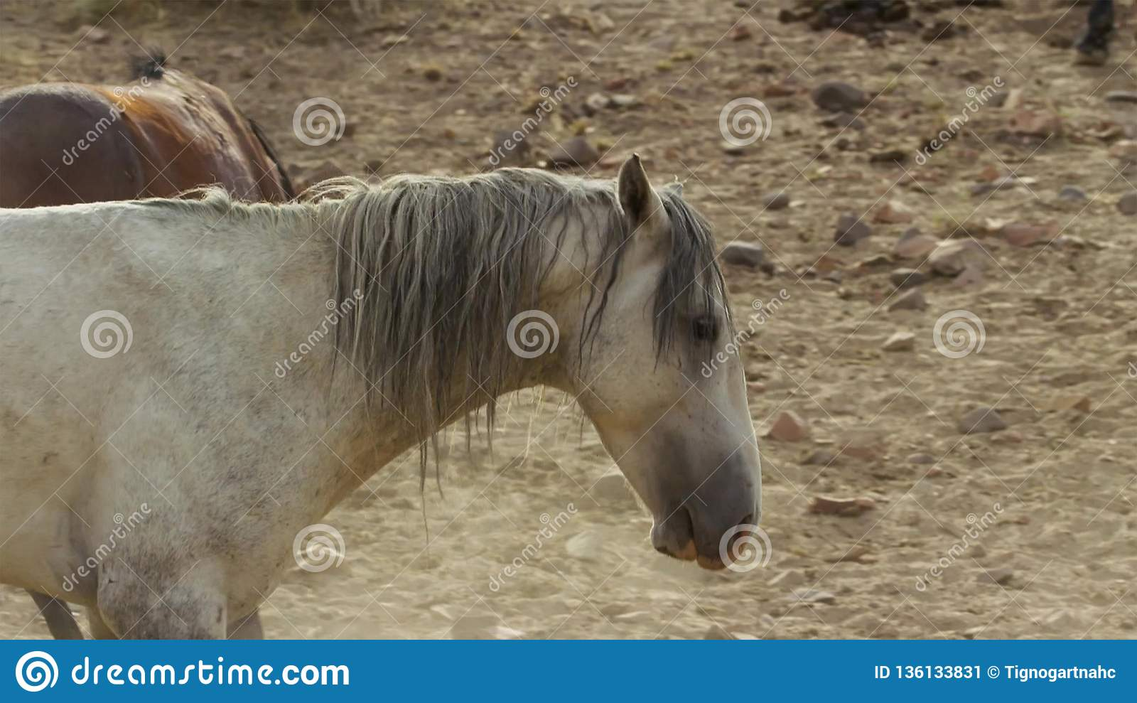 A wild bay mustang of the Onaquai wild horse herd. Standing stoically in the desert of Nevada, United states