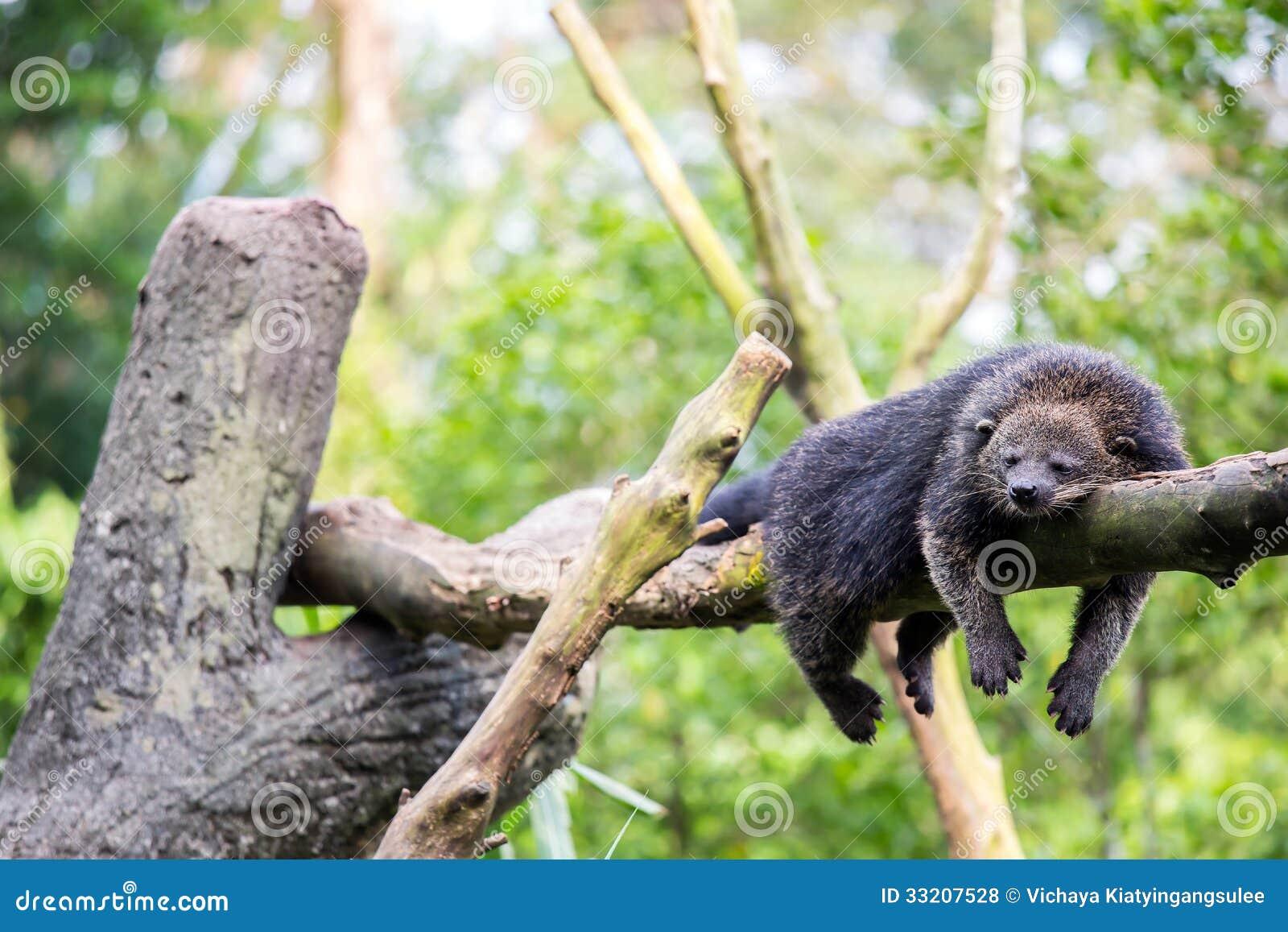 Wild Bearcat Sleeping Royalty Free Stock Photos Image