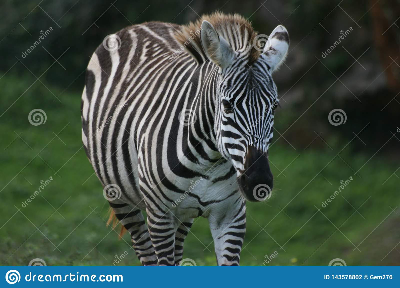 Zebra looking to the camera