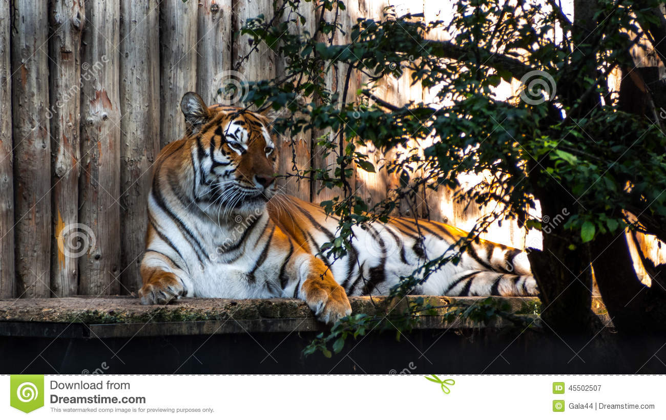 the characteristics of tigers the largest cat species The term big cat is typically used to refer to any of the five living members of the  genus  the big cat species addressed in these regulations are the lion, tiger,  leopard,  the behavior guide to african mammals: including hoofed mammals, .