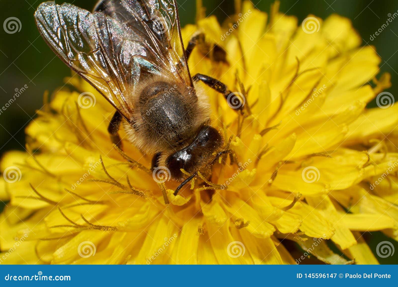 Wild Bee colletcs pollen from dandelion or Taraxacum officinale flower in spring