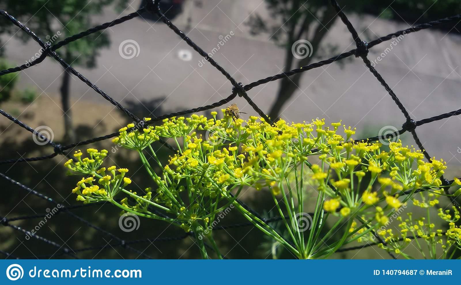2. Wild bee from Front, gets nectar, on dill flower.