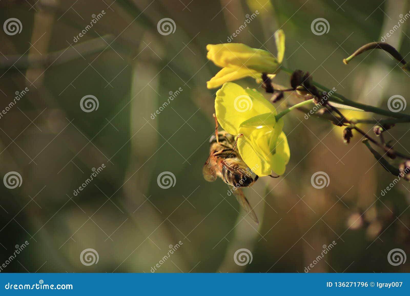Bee on a winter cress. Yellow flower closeup on dark background.