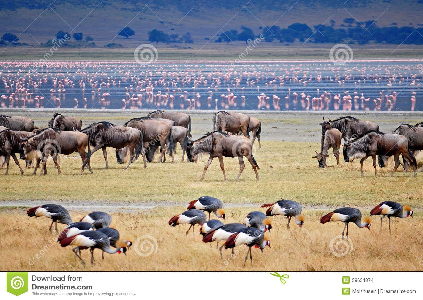 Wild beest migration in tanzania