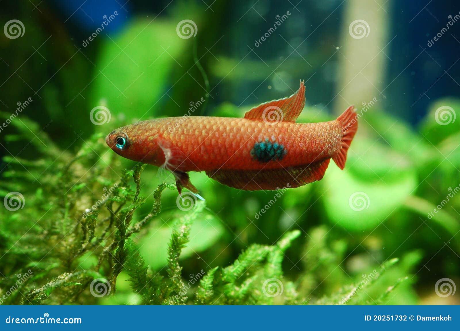 Wild betta stock photography image 20251732 for Fish s wild