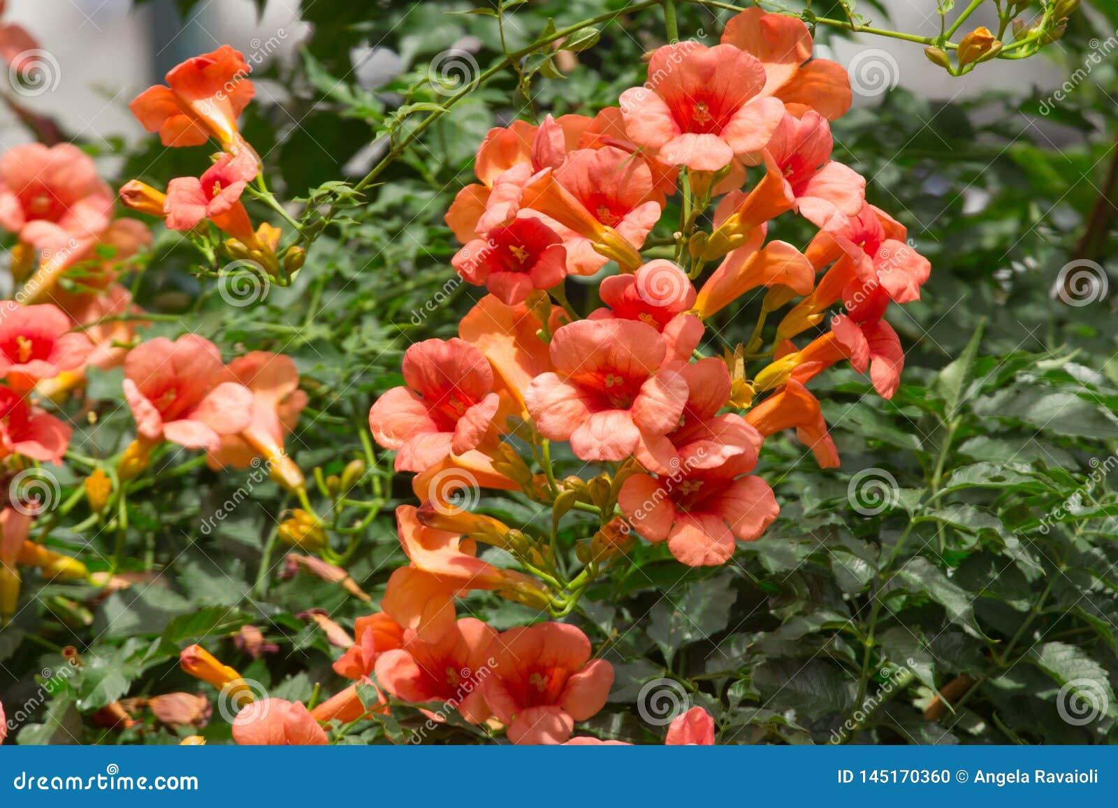 Wild Bignonia Plant Flower