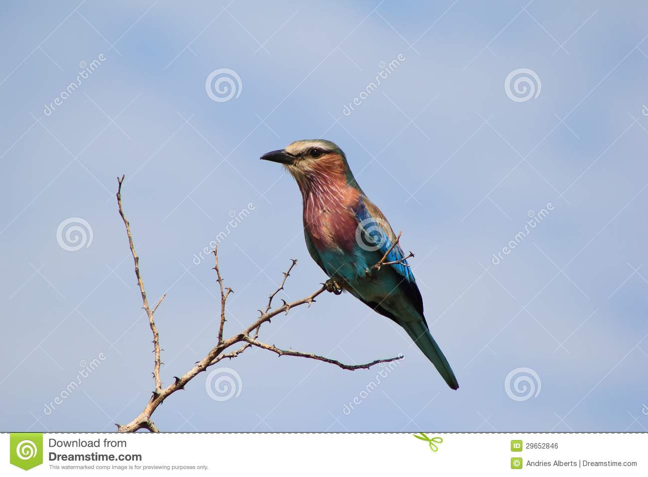 Wild Birds From Africa - Lilac Breasted Roller Royalty ...
