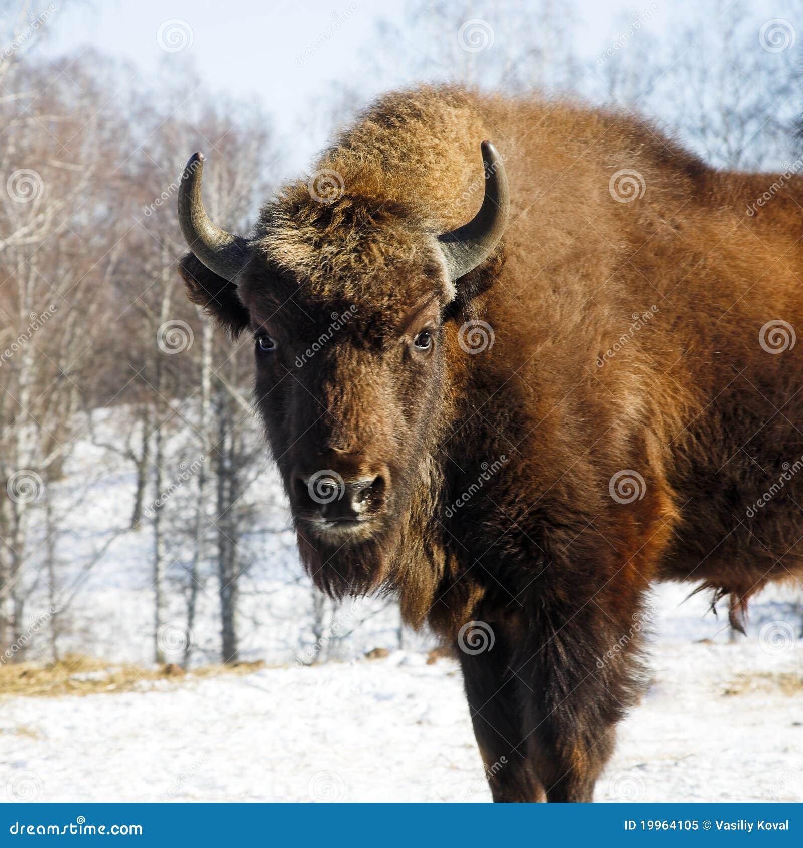 Wild bison stock image. Image of cattle, bizon, buffalo ...