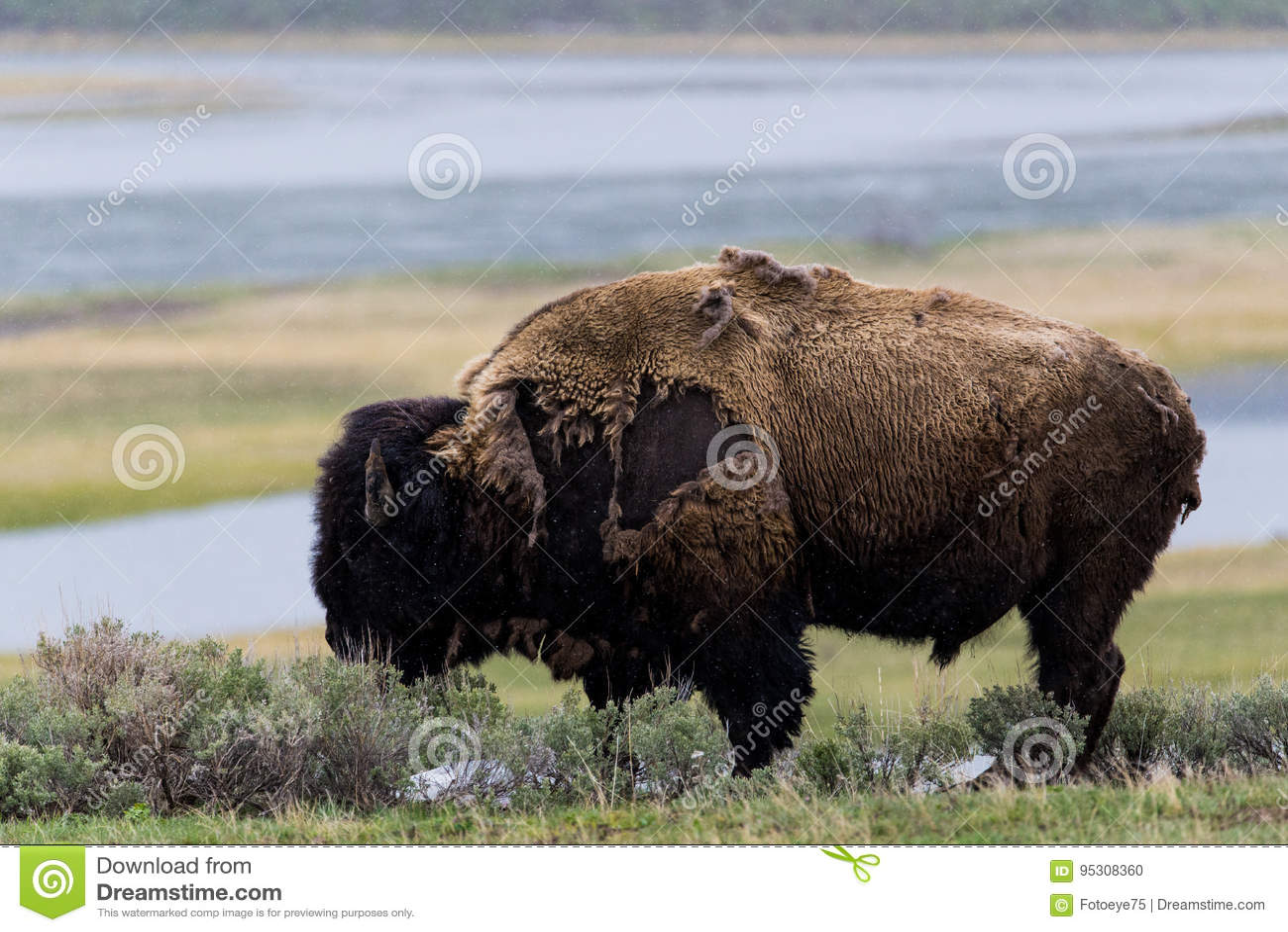 wild bison buffalo grazing - Yellowstone National Park - mountain wildlife