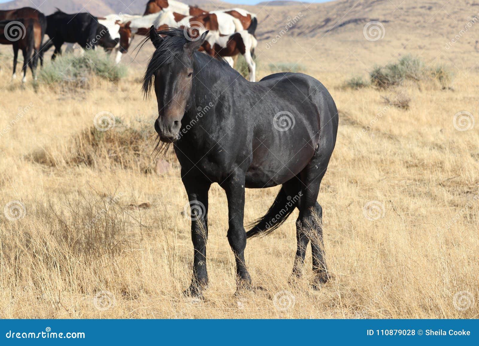 Wild Black American Mustang Stallion Stock Photo Image Of Sierra Black 110879028